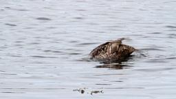 Mallard ducks Footage