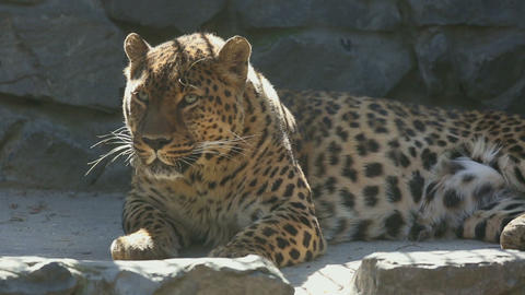 Adult Jaguar resting and looking into the camera Footage