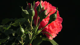Red rose in the garden. Red roses in the park Footage