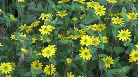 Beautiful yellow flowers. Little yellow flowers -... Stock Video Footage