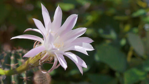 Flower on a blooming cactus 00008 Footage