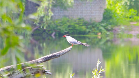 River tern sits on branch Footage