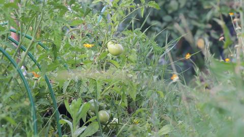 Unripe fruit of tomatoes 3 Footage