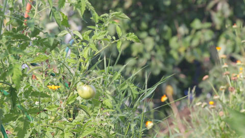 Unripe fruit of tomatoes Archivo