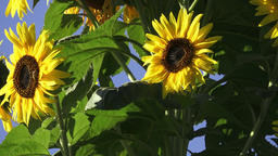 Close-up of sun flower against a blue sky. Beautiful sunflowers blossom against  Footage