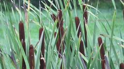 Broadleaf cattail (Typha latifolia). Fresh bright green broadleaf cattail reeds Footage