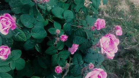 Flowers Rose Garden Blooming Springtime Image