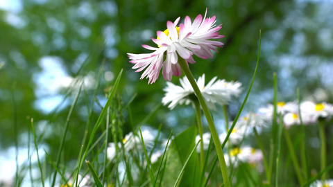 Blooming beautiful chamomiles daisies flower. White-pink Footage