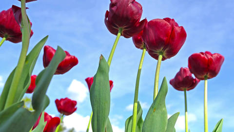 Blooming Red tulips on a blue sky background, closeup of tulips swaying in the Footage