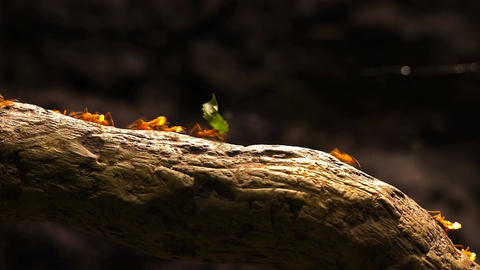 Leafcutter ants marching across a tree branch Footage