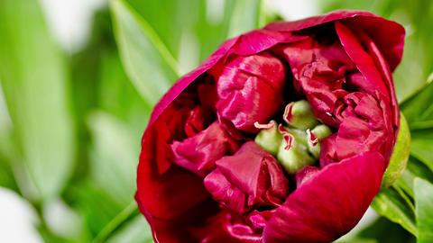 peony flowering Footage