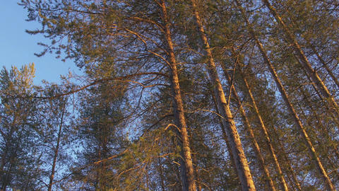 Pine Trees - Northern Sweden, Scandinavia 画像