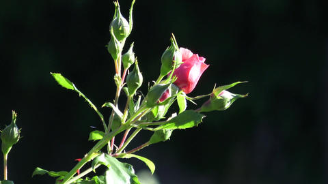 Red rose in the garden. Red roses in the park Live Action
