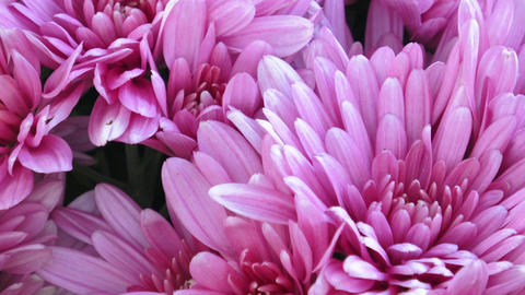 Beautiful chrysanthemum flowers. Closeup shot of blooming chrysanthemum flower Footage