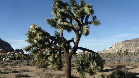 Joshua tree national park, Zoom out time lapse of a tree, in Joshua tree Live Action