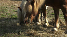Group of horses eating hay in an arid field on sunny summer day. Horses eating h Footage