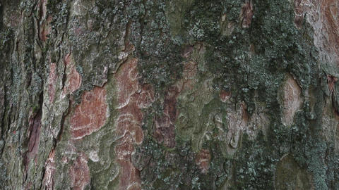 Bark in natural environment. Part trunk with nice decorative bark Footage