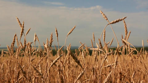 Wheat ears sway Image