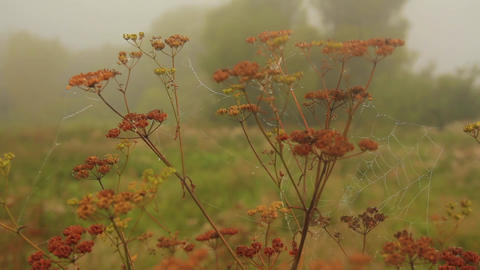 The stem of a dried hogweed Live Action