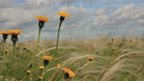 feather grass and yellow flowers Footage