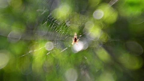 Spider on cobweb. Araneae (spiders) is the largest order of arachnids, the numbe Footage