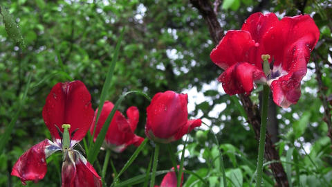 Spring has arrived in the garden. Tulips bloom. A spring rain, wet them and refr Live Action