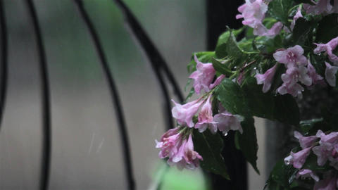 Spring Heavy Rain Seen Through The Wrought Iron Gate Of A House, Near Which Grow stock footage