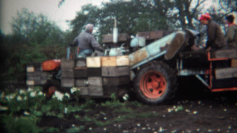 1971: Farmer harvesting vegetables workers processing into boxes Footage