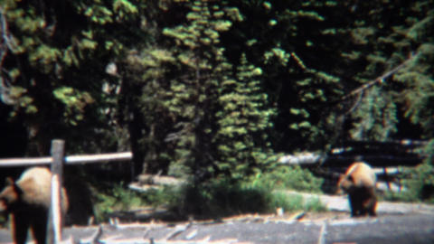1971: Grizzly bears walking on beach waterfront hunting food Footage