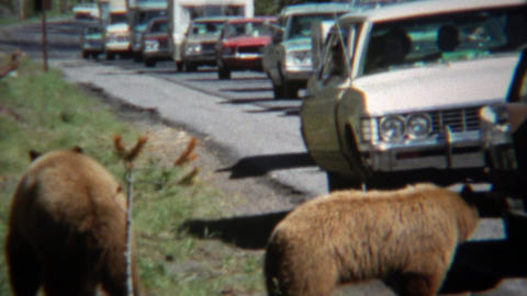 1971: Grizzly bear causing traffic jam roadside feeding the animals Footage