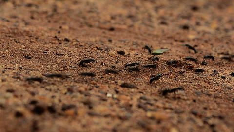 Close Shot Of Moving Black Ants Before Rain stock footage