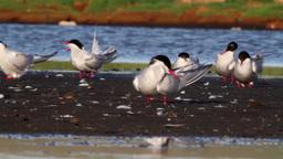 Red necked phalarope flock Footage