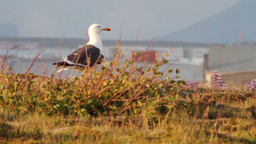 Great black backed gull Footage