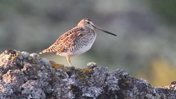 Common snipe Footage