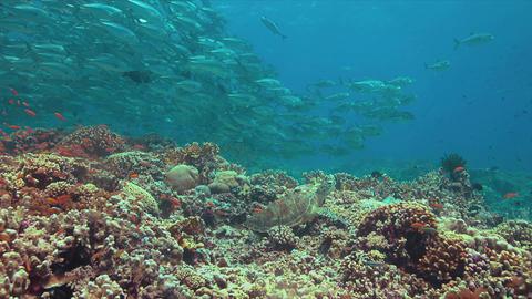 Green Sea Turtle and Big-eye Trevalies Footage