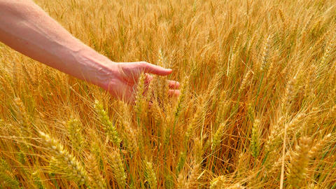 Male hands in barley field. Grain in the hands. Man hands holding barley grain.  Live Action
