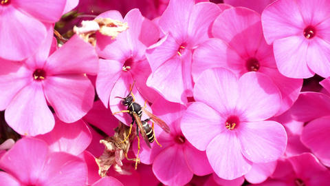 Wasp on pink phlox flowers Footage