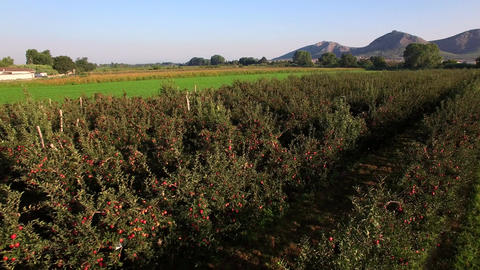 Aerial View over the Red Apple Trees at Sunrise Footage