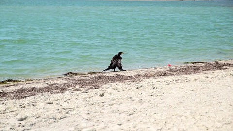 Black cormorant on the beach Footage