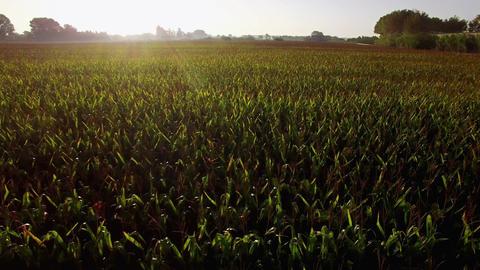Great Corn Fields Farmland at Sunrise ビデオ