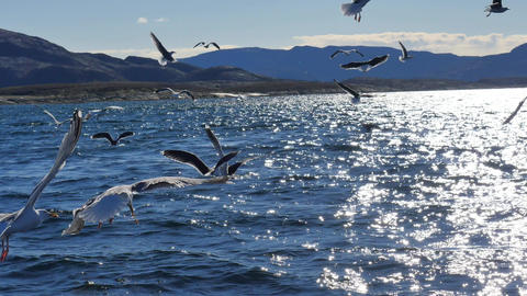 Group of hungry seagulls diving and fighting for dead fish Live Action