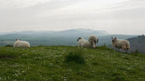 Irish Sheeps, County Cork, Ireland Footage