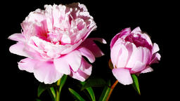 Peony flowers openning Filmmaterial