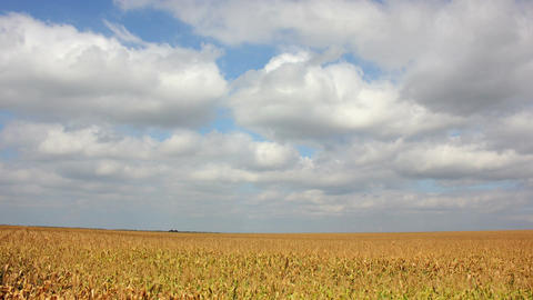 Ukrainian Corn Field Original 4K Footage