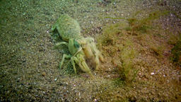 Sea cliff (Upogebia pusilla) - a species of crustaceans of the superfamily kalia Live Action