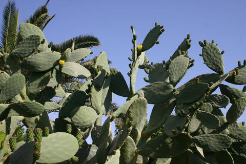 Cacti Opuncia sp. and other succulent plants Foto