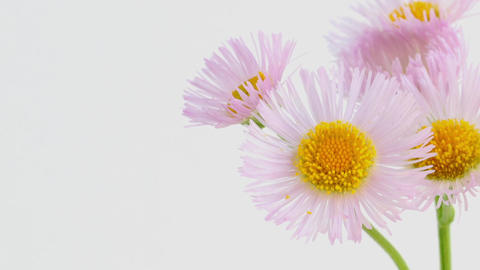 Blooming Flowers Time Lapse, Erigeron philadelphicus Footage