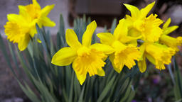 Macro closeup of bunch of yellow daffodil flowers in green grass during spring Footage