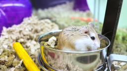Robo dwarf hamster eating chewing food from bowl in cage Footage