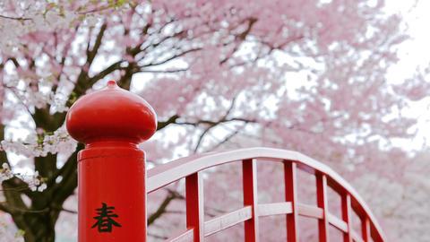 Cherry blossom Filmmaterial